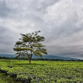 TEA GARDEN IN WEST BENGAL , INDIA by Dipabrata Sur - Landscapes Prairies, Meadows & Fields ( clouds, field, tree, weather, landscape,  )