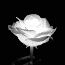 Glowy Rose by Nick Ericson - Digital Art Things ( amazing, black and white, fujifilm, dark, artistic, amateur, emotion )