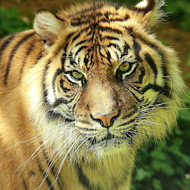Lovely Big cat by Gérard CHATENET - Animals Lions, Tigers & Big Cats