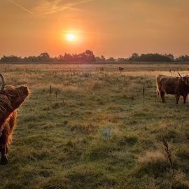 long horn, cows by Jesper Holgaard - Animals Other Mammals ( kalve, ko, vallensbæk, cows, long horn, kører )