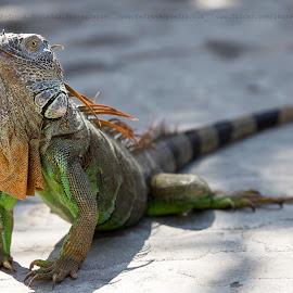 Iguana by Pedro Nogueira - Animals Reptiles ( nature, colorful, iguana, wildlife, animal )