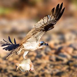 Osprey by Carl Albro - Animals Birds ( bird, flying, hawks and eagles, bif, osprey )