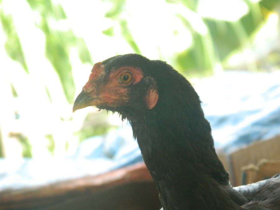 Native chicken of Basilan by Nahda Kahbata - Animals Birds