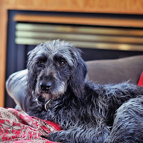 Comfy Cozy by Elaine Tweedy - Animals - Dogs Portraits