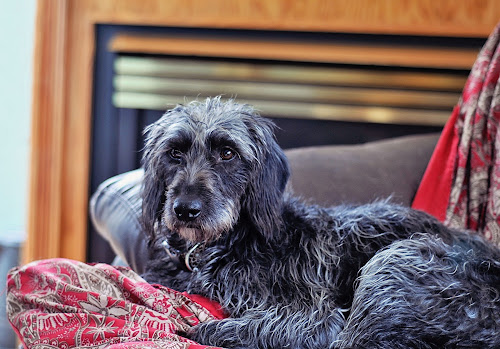 Comfy Cozy by Elaine Tweedy - Animals - Dogs Portraits