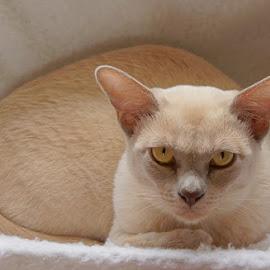 Mathilda by Caroline Beaumont - Animals - Cats Portraits ( lilac burmese, kitten, cat, stare, yellow eyes )