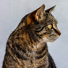 Brown Tabby Cat - side on portrait  by Vicki Roebuck - Animals - Cats Portraits ( natural light, cat, tabby cat, brown tabby, outdoors, yellow eyes )