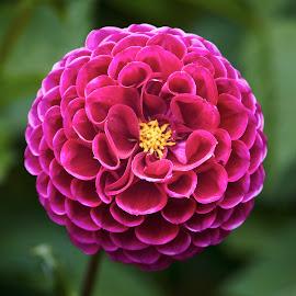 Dahlia 8713~ by Raphael RaCcoon - Flowers Single Flower