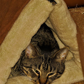 Bedtime by Hal Gonzales - Animals - Cats Portraits ( cat, housecat, bed, ears, eyes )