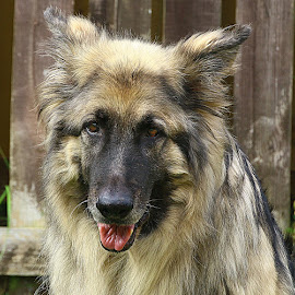 Handsome Boy by Chrissie Barrow - Animals - Dogs Portraits ( sable silver black, long haired, pet, german shepherd dog, fur, ears, dog, nose, portrait, eyes )