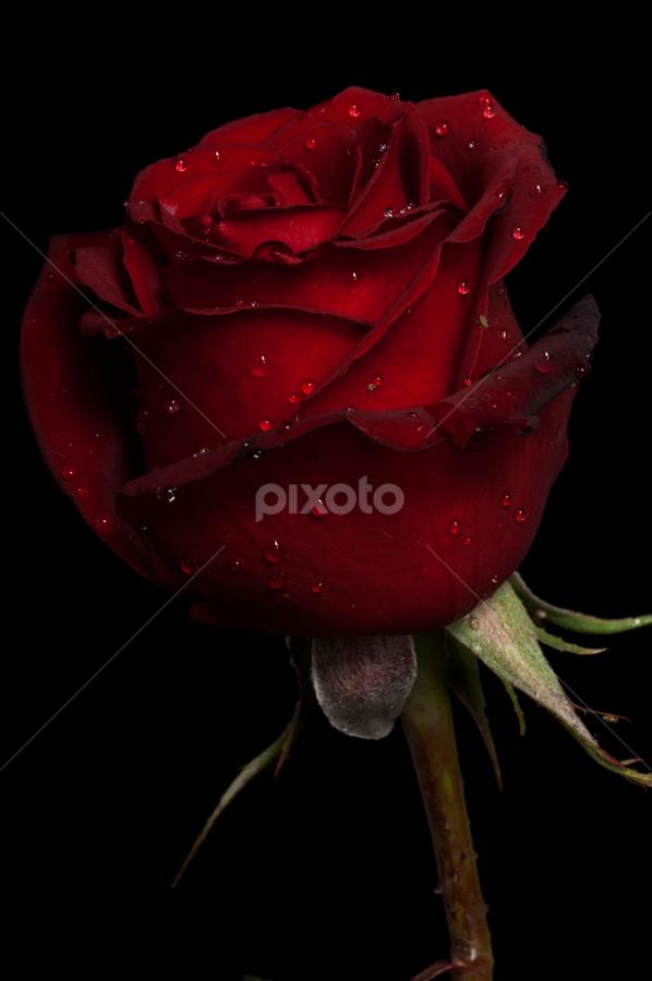Rose in red tone by Cristobal Garciaferro Rubio - Nature Up Close Flowers - 2011-2013 ( love, rose, aroma, samurai rose, petals, drop, drops, roses, raindrops, flowers, flower, petal )