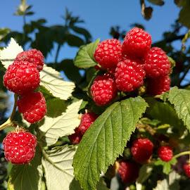 Big rasp.  by Gene Richardson - Nature Up Close Gardens & Produce