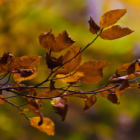 Autumn by Alexandru Bogdan Grigore - Nature Up Close Leaves & Grasses ( nature, autumn, colors, october, leaves )