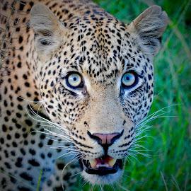 Intensity by Sean & Richard Photography - Animals Lions, Tigers & Big Cats ( big cat, predator, carnivore, big cats, nature, wildlife, leopard )