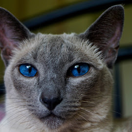 Mesmereyes by Andrew Oostenbroek - Animals - Cats Portraits ( pet portrait, animals, pets, siamese cat, domestic cat )