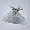 Germar's Satin Moths
