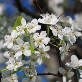 Spring's Beauty by M.H. O'Dell - Flowers Tree Blossoms