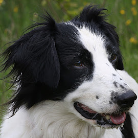 My Pal! by Chrissie Barrow - Animals - Dogs Portraits ( tongue, pet, male, white, fur, ears, dog, nose, lurcher, black, portrait, eyes, collie cross )