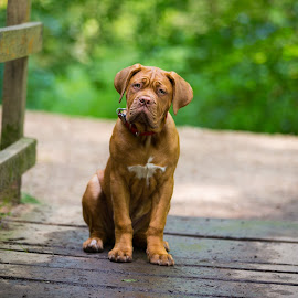 Mason by Jenny Trigg - Animals - Dogs Puppies ( dogue de bordeaux, mastiff, puppy, dog, woods )