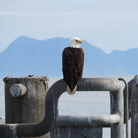 Proud Eagle by Judy Smith - Novices Only Wildlife ( railing, mountain, eagle, alaska, dock )
