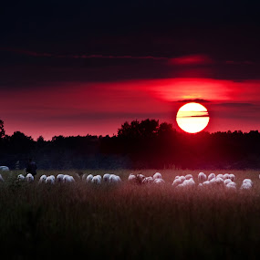 When the sun is going down by Tamas Valentin - Landscapes Prairies, Meadows & Fields ( nature, sunset, sheep, landscape, sheaperd )
