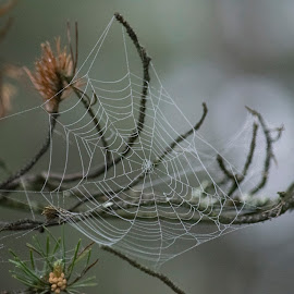 Web by Marko Paakkanen - Nature Up Close Webs ( tree, nature, nature close up, close up, spider web, mist )