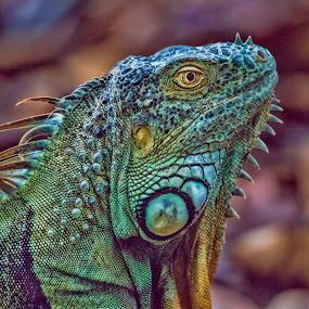 Wild Iguana by Lisa Coletto - Animals Reptiles ( lizard, iguana, reptile, green iguana,  )