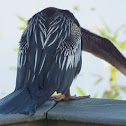Snakebird (female)