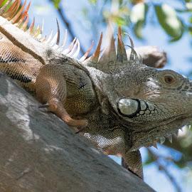 Day of the Iguana by Jim Signorelli - Animals Amphibians