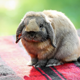 Mini Holland Lop by Tony Bendele - Animals Other Mammals ( rabbit, animals, fluffy, mini holland lop, nature, rabbits, outdoors, wildlife, fun, cute, animal )