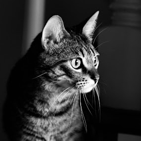 cat by John Brock - Animals - Cats Portraits ( cat, black and white, focus, animal, eyes )