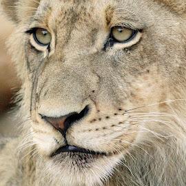 Profile of a lion cub by Anthony Goldman - Animals Lions, Tigers & Big Cats ( big cat, wild, lion, predator, sabi sands, leopard hills, south africa, wildlife )