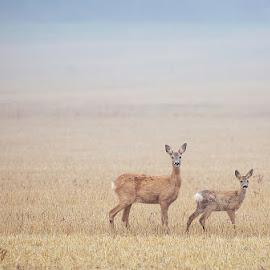 Roe deer by Allan Wallberg - Animals Other Mammals ( roe deer, capreolus capreolus, deer )