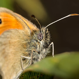 amazing butterfly close up by Eduard Valentinov - Animals Insects & Spiders ( single, fauna, bright, yellow, leaf, insect, eyes, close, macro, nature, light, flower, isolated, butterfly, orange, wing, white, environment, sweet, season, natural, floral, plants, wildlife, beauty, cone, pretty, spring, looking, super, life, attractive, stacking, fritillary, fur, coneflower, hair, coat, purple, green, up, amazing, red, pattern, color, elegant, background, summer, garden,  )