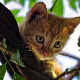 Žućko by Dorel Fetlok - Animals - Cats Playing