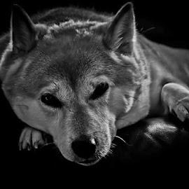Mika by Ian Harris - Animals - Dogs Portraits ( shiba, portraits, dog )