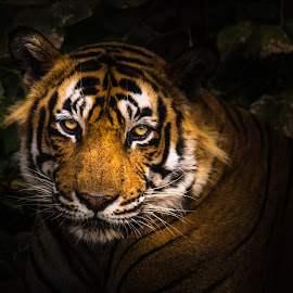 The King of Ranthambore by Swapan Banik - Animals Lions, Tigers & Big Cats ( wild animal, big cats, national park, wildlife photography, jungle, wild animals, big cats of india, big cats photography, wildlife, royal bengal tiger, ustaad, forest, wild photography )