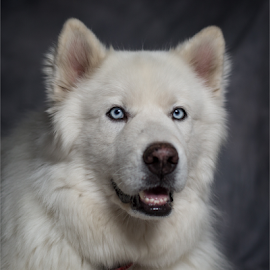Yuki by David Baker - Animals - Dogs Portraits