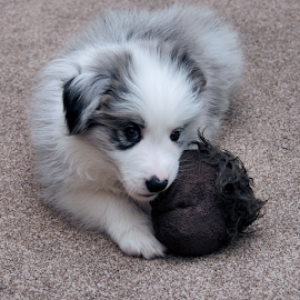 Flint and the gonk by Sally Turner - Animals - Dogs Puppies ( carpet, cute, nikon d5100, border collie, nikon 18-200mm f/3.5-5.6 vrii, pet, fur, cuddly, puppy, blue merle, brown, grey, dog )