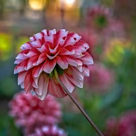 by Bojan Bilas - Flowers Flower Buds ( europe, flora, beautiful, fine art, glow, bokeh, close-up, macro, nature, color, foliage, flowers, dahlia, closeup )