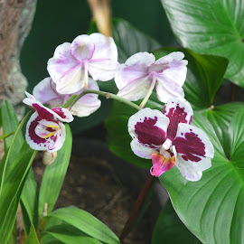 Orchid by Michele Kelley - Novices Only Flowers & Plants ( nature, purple, orchids, white, flowers )
