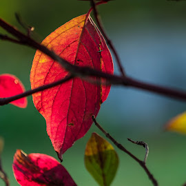 Red ones by Dan Westtorp - Nature Up Close Leaves & Grasses