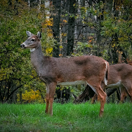 Season color change by Sue Delia - Animals Other ( colors, fall, whitetail, doe, deer,  )