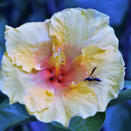 Hibiscus and Wasp by Leah Zisserson - Flowers Single Flower ( wasp, hibiscus, store garden, virginia, village, flower,  )