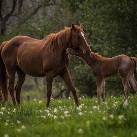 A Colt loves his Mama by Greg Sommer - Animals Horses