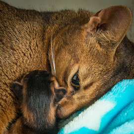 Mother love by Rita Bruche - Animals - Cats Kittens ( birth, kitten, cat, mother, maternal, abyssinian )