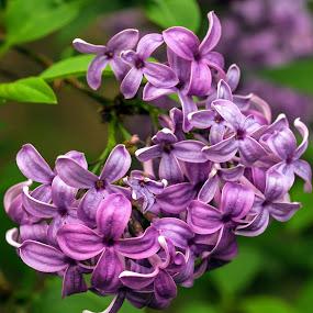 Lilacs II by Judy Florio - Flowers Flower Gardens ( macro, fragrant, purple, flowers, spring, lilacs )