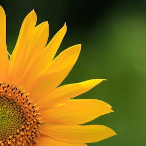 sunflowers by Firmansyah Goma - Nature Up Close Flowers - 2011-2013 ( sunflower,  )