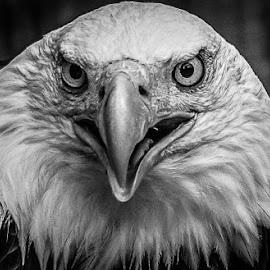 Sam by Garry Chisholm - Black & White Animals ( bird, garry chisholm, eagle, nature, black and white, wildlife, prey, raptor )