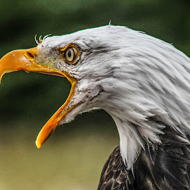 Danesbury by Garry Chisholm - Animals Birds ( bird, prey, raptor )